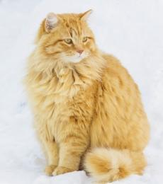 National Animal Welfare Trust Spiced Ginger Christmas Card ginger tabby cat in snow