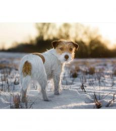 National Animal Welfare Trust Jack Russell dog in snow sunrise sunset charity Christmas card